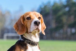Sniffing For the Win: Study Shows Dogs Can Sniff Out Cancer_Bad Yogi