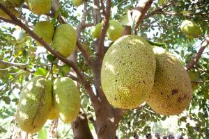 Jackfruit Bad Yogi