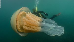 Divers Encountered a Jellyfish the Size of a Human (Pictures)_Bad Yogi